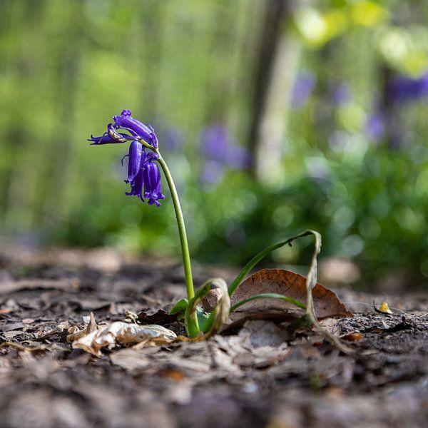 gros plan d'une belle jacinthe des bois en fleur dans le Hallerbos sur Kim Willems