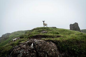 Schafe posieren vor der Kamera von Ken Costers