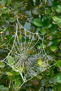 Bevroren spinnenweb van Kai Grijff