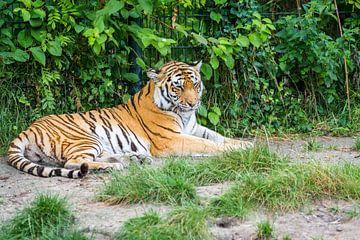 Bengaalse tijger van Eric de Kuijper