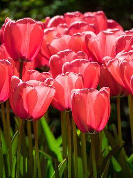 Rote/rosa Tulpen