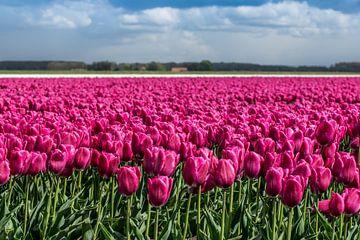 Tulpenveld van Hans Tijssen