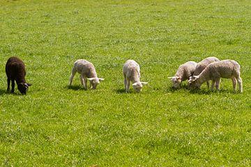 Lammetjes op ee rij van Marcel van der Voet