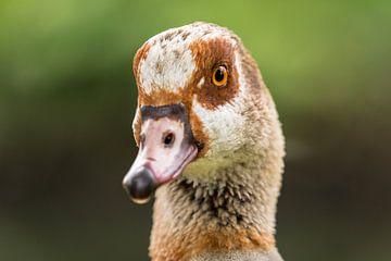 Portret Canada Goose van videomundum