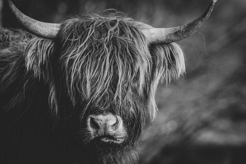 Nahaufnahme einer schottischen Highlander-Kuh in den Niederlanden in Schwarz-Weiß von Maarten Oerlemans
