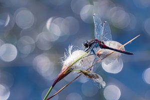 Noordse witsnuitlibel met mooie blauwe achtergrond van