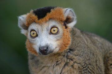 Verbaasd aapje van Dennis Mullenders