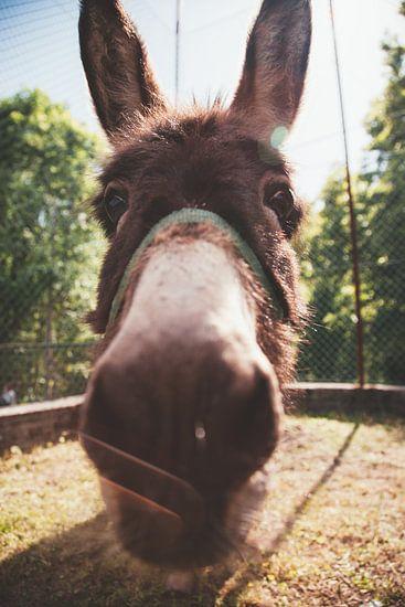 Close-up van een ezel