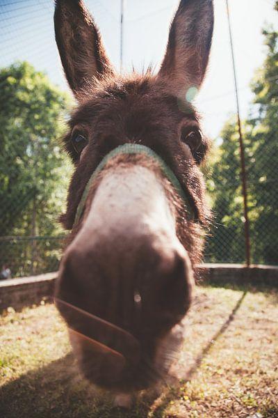 Close-up van een ezel van Atelier Liesjes