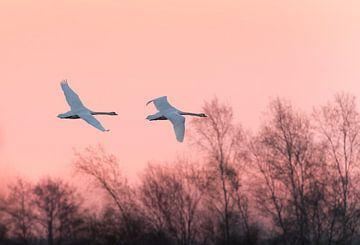 Zwanen bij zonsopkomst sur Erik Veldkamp