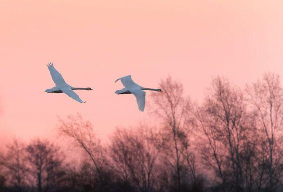 Zwanen bij zonsopkomst van Erik Veldkamp
