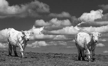 koeien in de morvan van Ed Dorrestein
