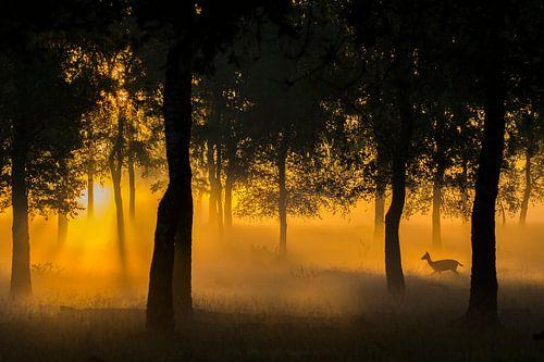 Damhert tijdens zonsopkomst op de Veluwe van