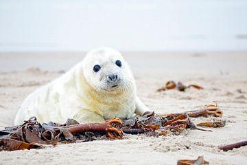 Robbenbaby am Strand in den Niederlanden von Nisangha Masselink