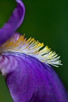 Blaue Lilie (Schwertlilie) von Tot Kijk Fotografie: natuur aan de muur