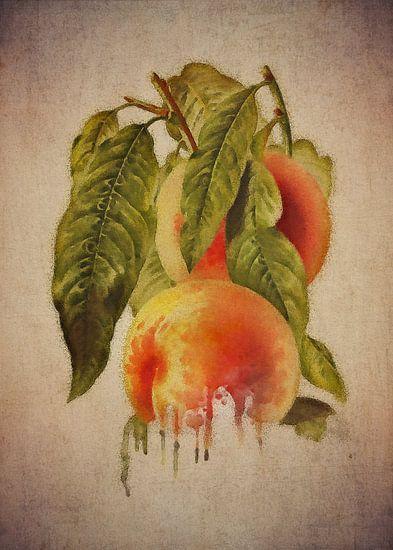 Perzik - Antieke tekening van een perzik