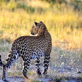 Luipaard in de Okavango Delta van Daphne de Vries