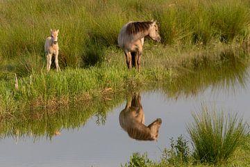 Konikpaarden van Arie Jan van Termeij