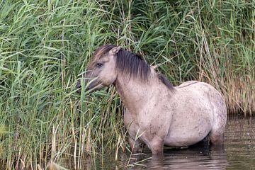 Konik-Pferd auf der Suche nach Futter und Kühlung von Anjella Buckens