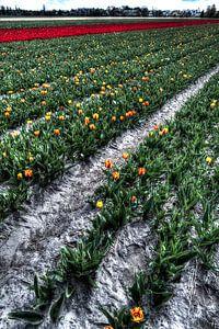 Bollenvelden in bloei van