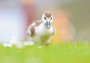 Baby gansje in het gras