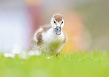 Baby gansje in het gras sur