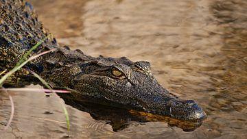 Krokodil met gevaarlijke blik in Okavango rivier