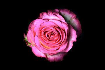 Roze roos op een zwarte achtergrond van Yvon van der Wijk