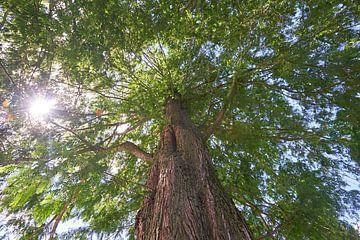 Dämmerungsmammutbaum Glyptostrboide oder Wasserzypresse 7007032334 Fotograf Fred Roest von Fred Roest