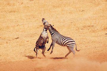 Vechtende Zebra's van