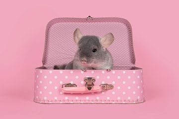 Niedliches graues Chinchilla in einem rosa Koffer von Elles Rijsdijk