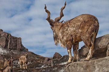 Een geit met grote hoorns staat op een rots en bekijkt een vrouwelijke geit in de buurt van het berg van Michael Semenov