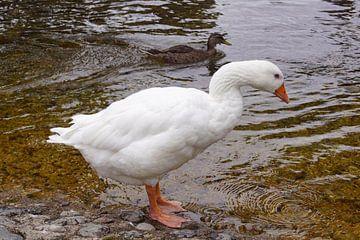 weiße Wildgans am Wasser von Babetts Bildergalerie