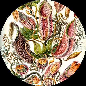 Nepenthes, Ernst Haeckel