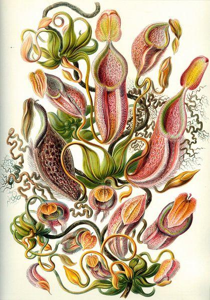 Nepenthes, Ernst Haeckel van Meesterlijcke Meesters