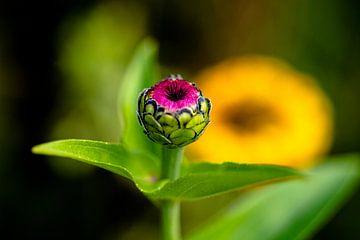 Blütenknospe von Sandra Estupinan