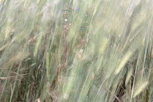 koren in de wind