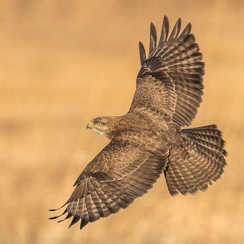 Buizerd spreidt zijn vleugels