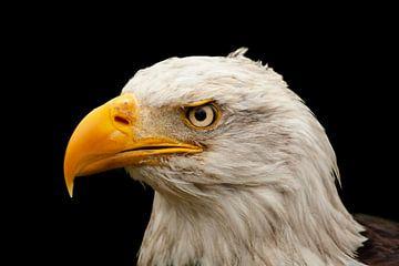 Bald Eagle, roofvogel in Noord Amerika van Gert Hilbink