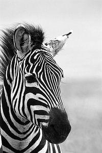 Dromige zebra