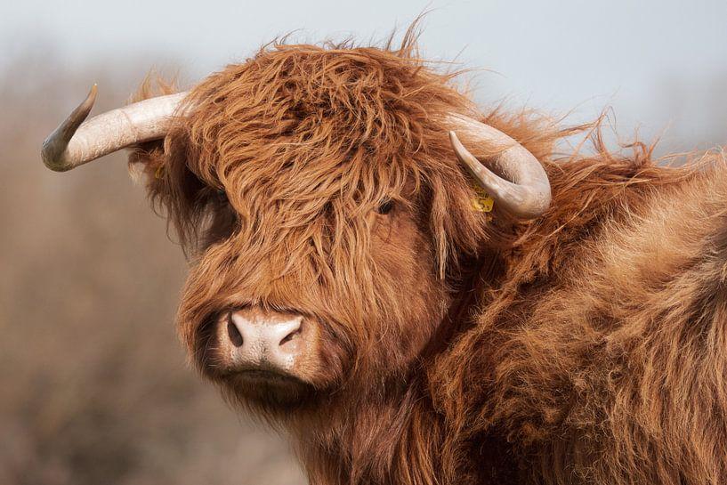 Porträt Schottischer Highlander vintage von Latifa - Natuurfotografie
