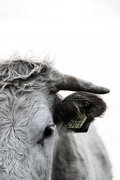 Kühe Details von Sabine Timman