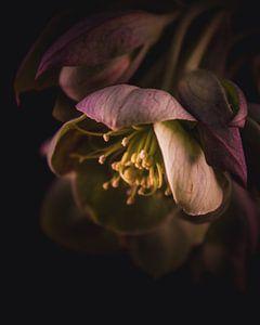 Alte rosa Blume von Sandra Hazes