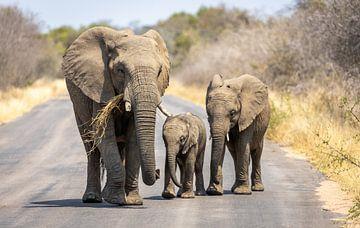 Eine Gruppe von Elefanten im Krügerpark Südafrika. von Claudio Duarte