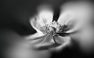 Anemoon in zwart wit van