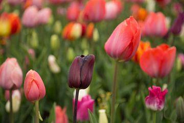 Hollands bollenveld met tulpen in alle kleuren in de Keukenhof van Renske Breur