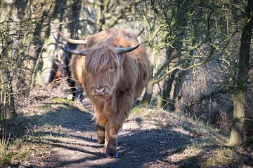 Schotse Hooglanders van Hilda booy