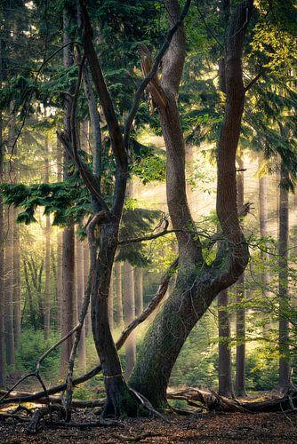 De oude boom