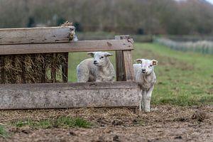 Petits agneaux coquins - Texel