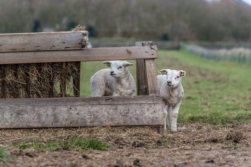 Petits agneaux coquins - Texel sur Texel360Fotografie Richard Heerschap